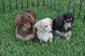 The 3 Dogs of 3 Dogs Games--Truffles, Chloe, and Angel